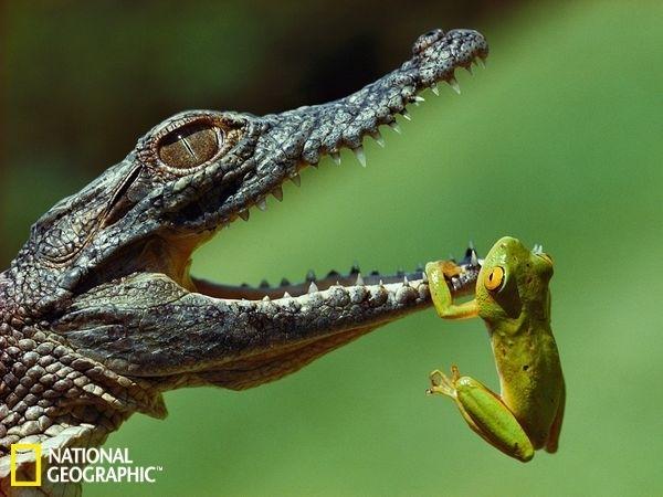 这种鳄鱼会攻击所有体型不及自己以及与自己相当的动物.