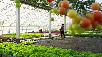 [即墨]太阳能小镇年产菜百万斤 发电近7万度