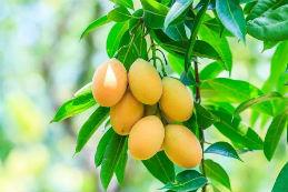 水果都得冰着放,但是芒果千万不能放冰箱