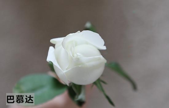 巴慕达花朵最终